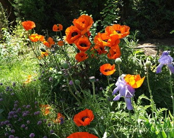 Poppies in Sunshine and Shadow