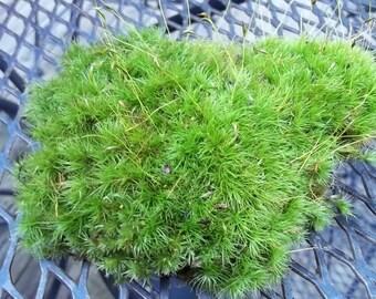 Live Mood Moss for Terrariums, Vivariums, Moss Gardens, Flower Pots Organic Fresh