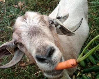 Fodder carrot LOBO seeds 3 g fresh best before 2018