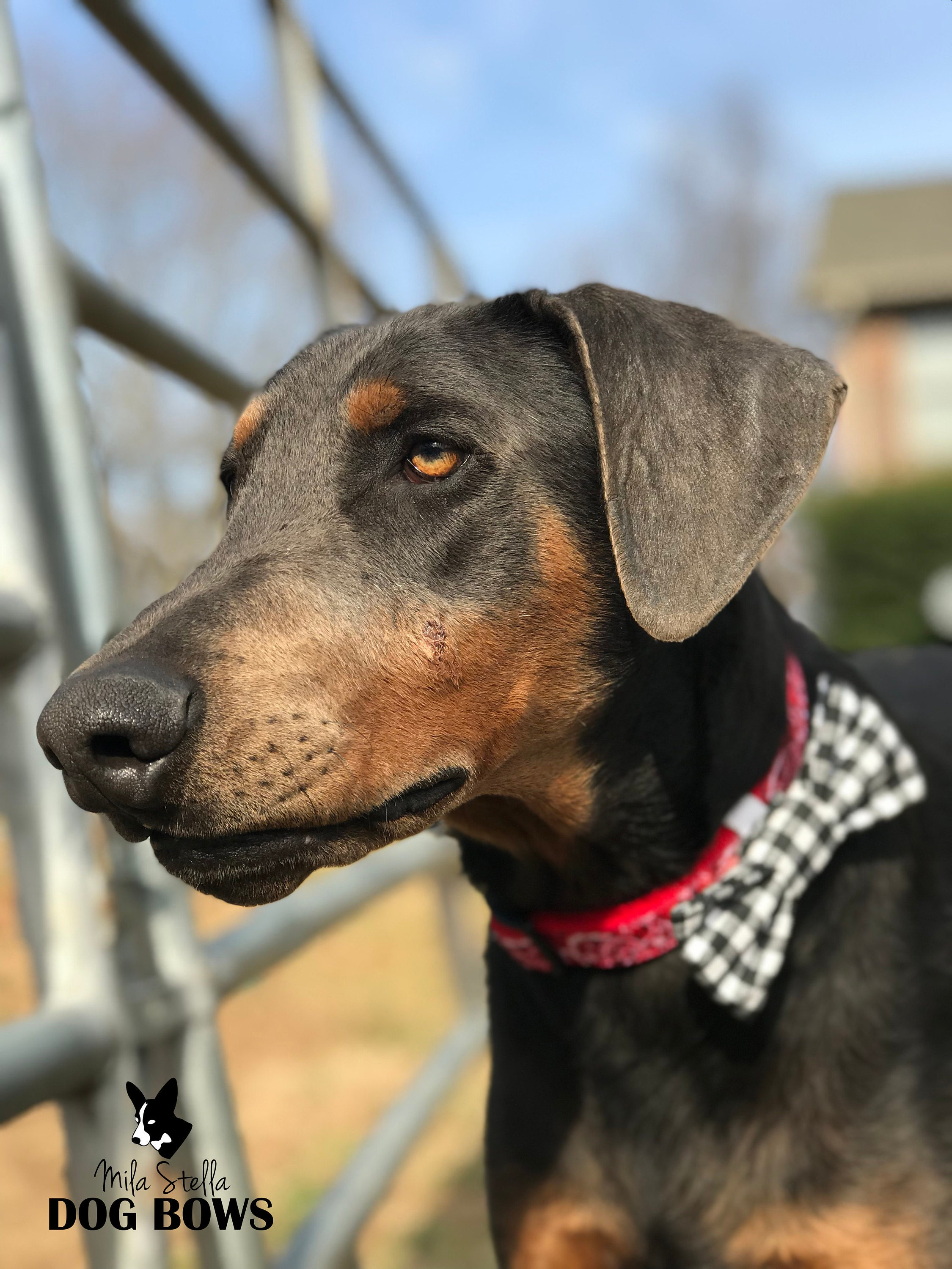 doberman in dog bow