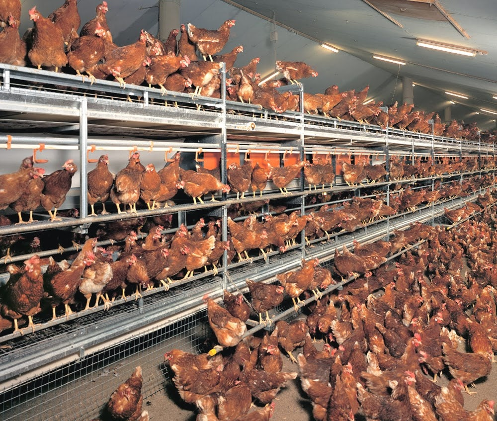 Cage free commercial laying hens