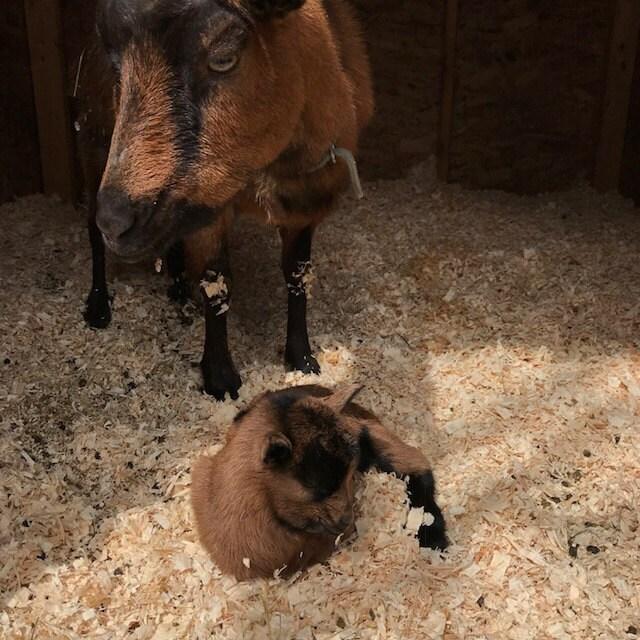 Our Oberhasli doe Sorrel admires her little kid. Shes an excellent mom!