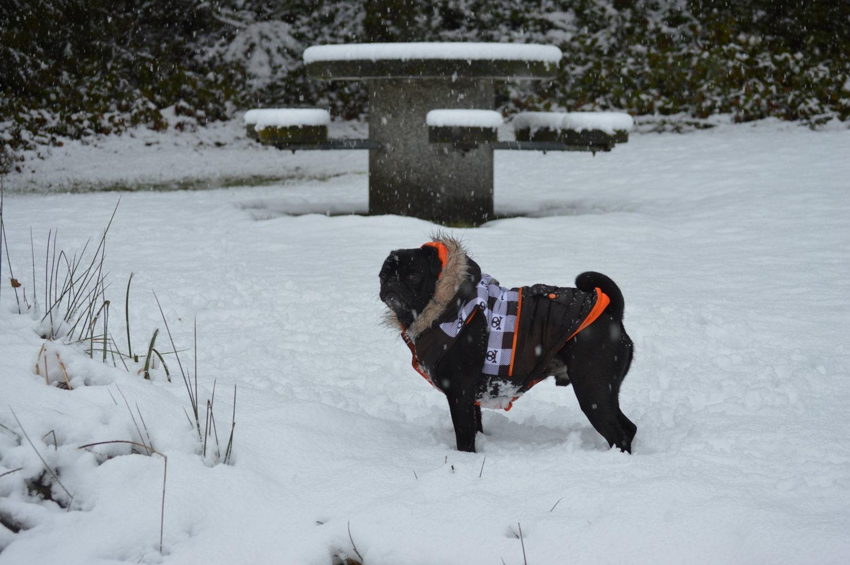 The snow pug Gus