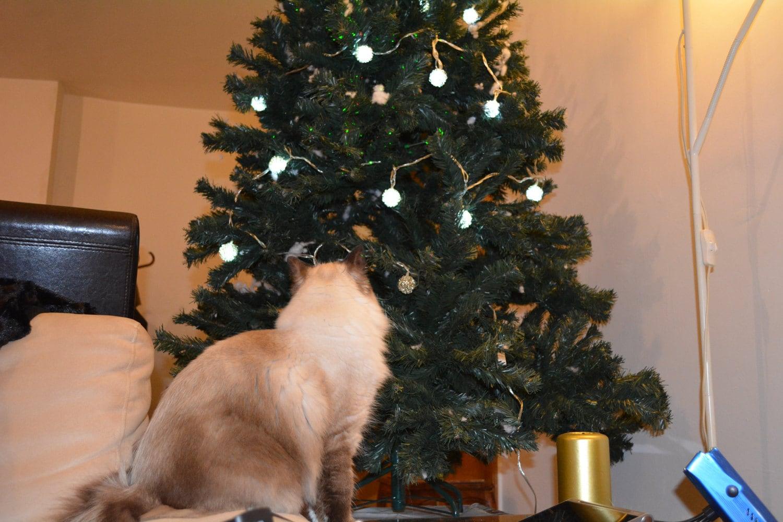 Daisy Blue admiring the Christmas tree