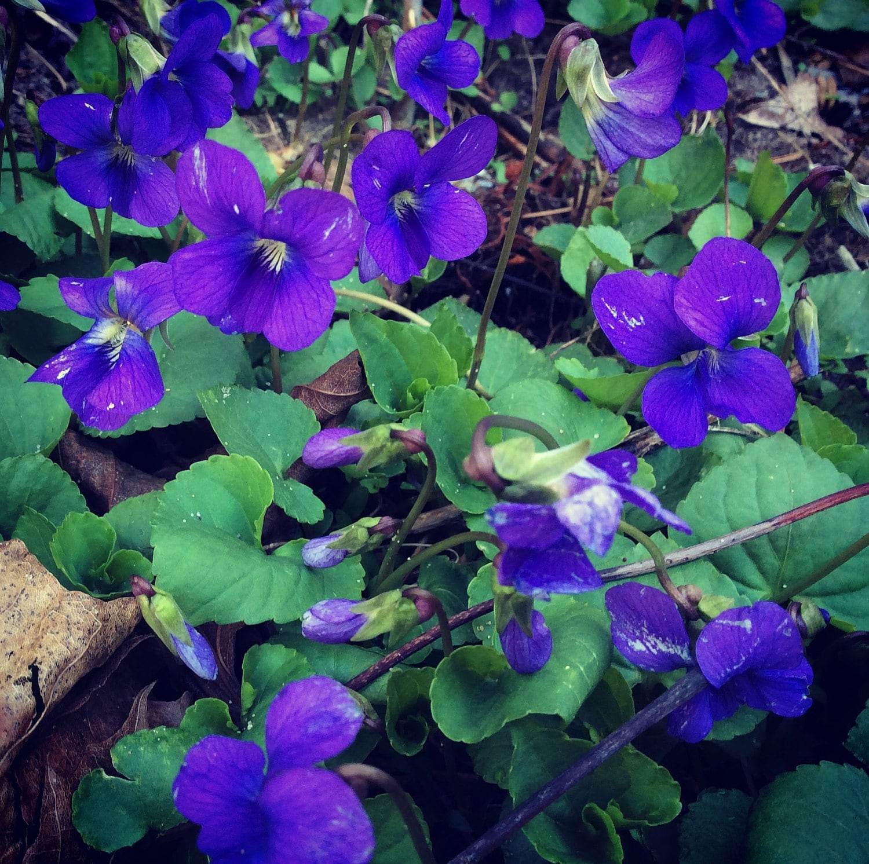 wild purple violets northern michigan april 2017 weed
