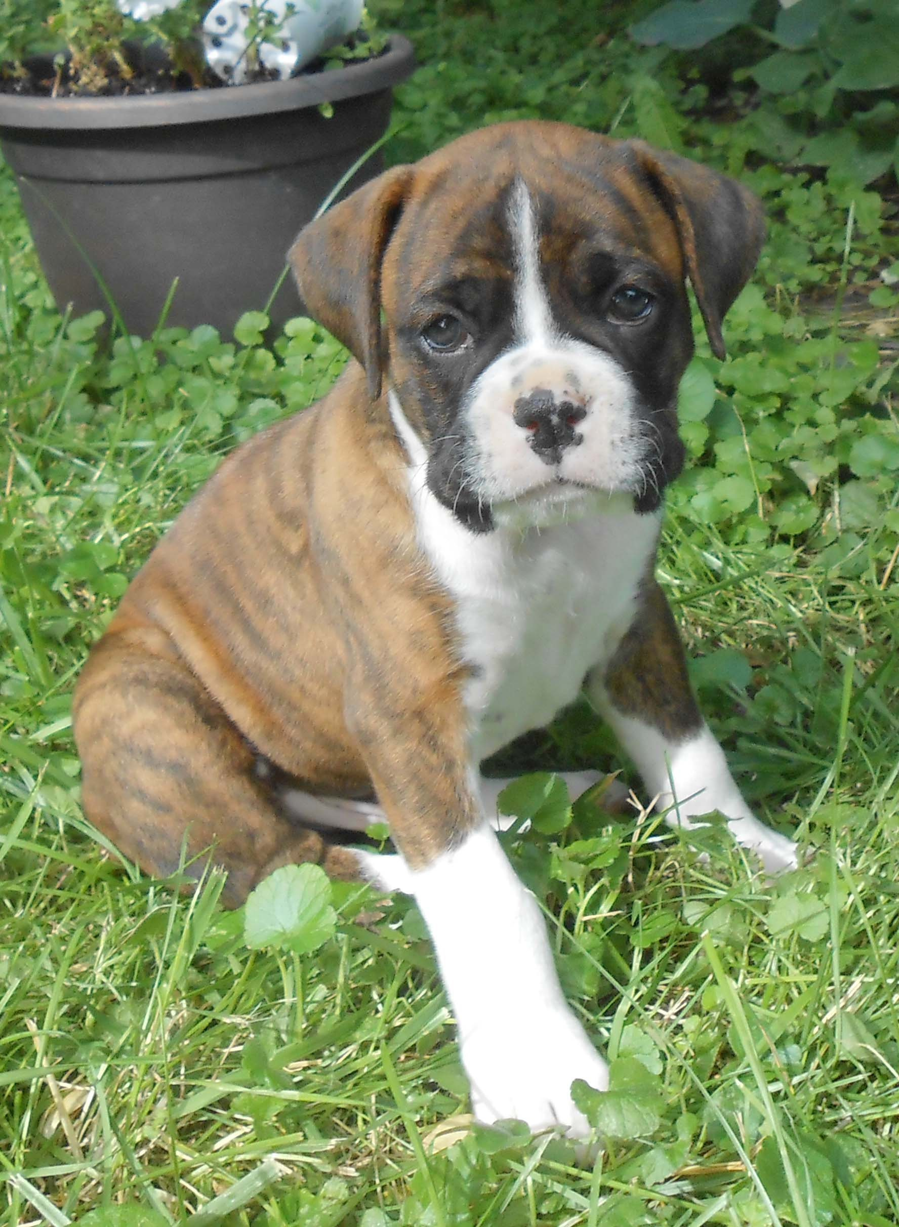 boxer puppy, six weeks, 6 week old, training six week old puppy