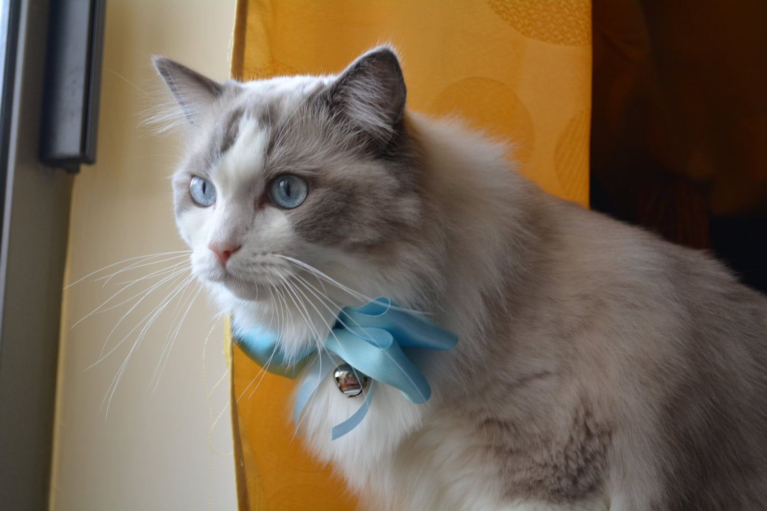 Boris SugarPuffs in a blue bowtie