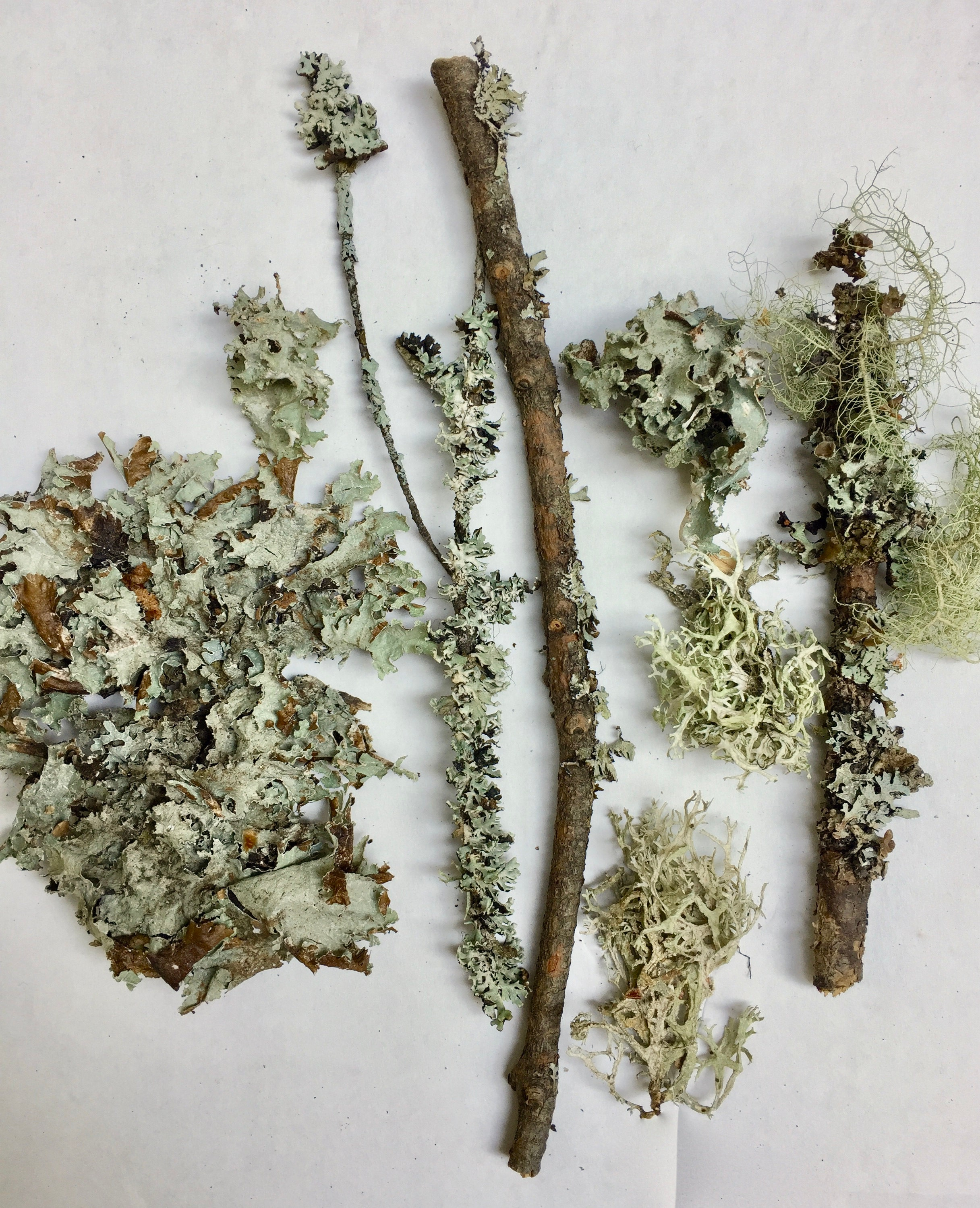Moss and Lichen for a natural dye bath