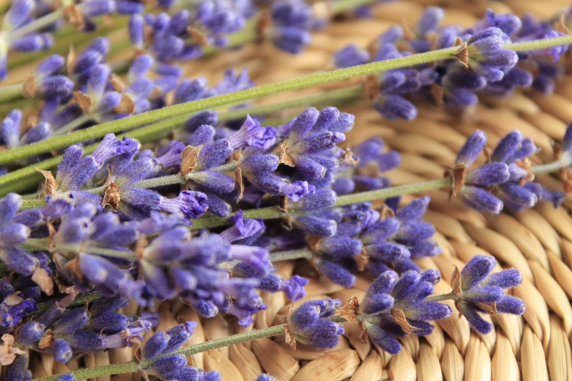 lavender essential oils aromatherapy
