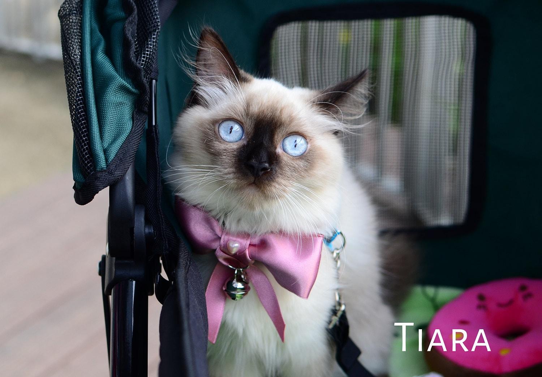 Kitten wearing pink bowtie. Tiara is from Singapore.