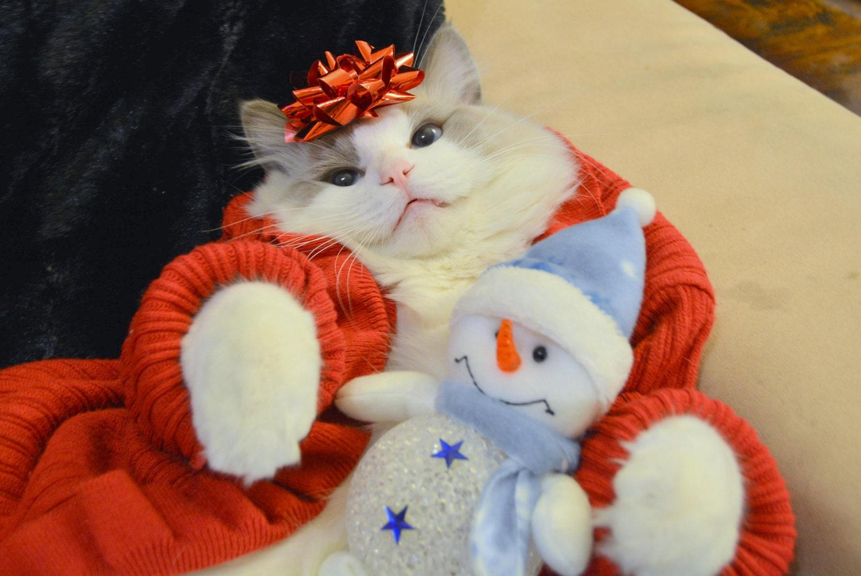 Boris Sugar Puffs & red bow