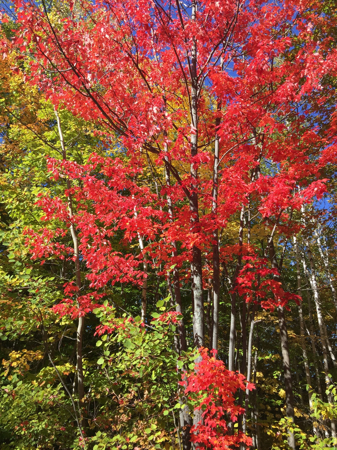 Beautiful Reds in Berlin, NH