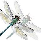 GeminiDragonfly