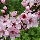 plumblossomlane