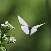 WhiteButterflyKiss